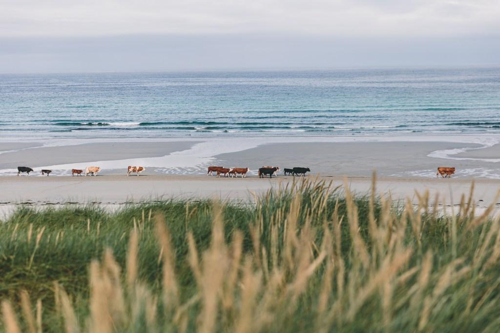 barra cows