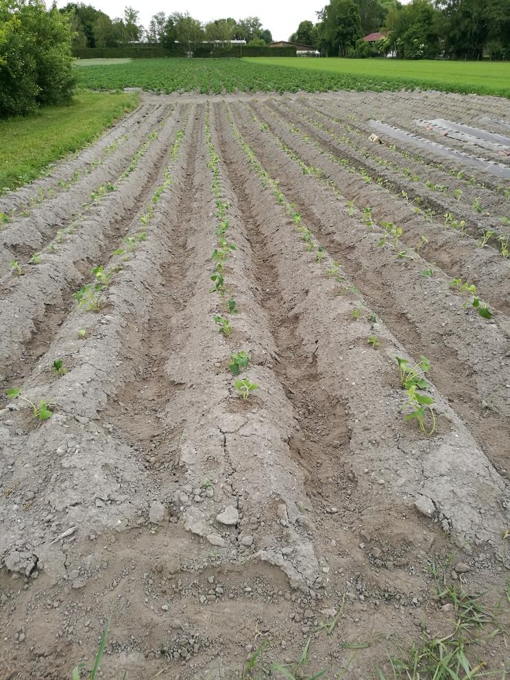 Read more about the article Süßkartoffeln fertig eingepflanzt
