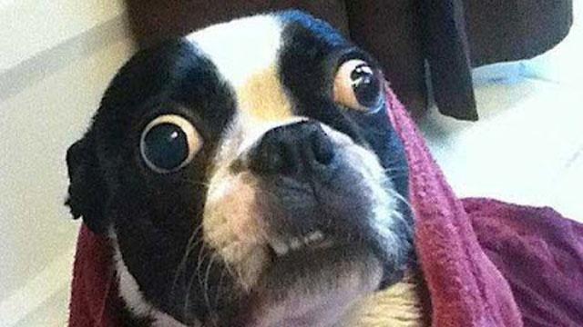 Bruschi-world-record-dog-jpg