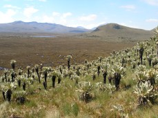 Frailejones (Espeletia pycnophyllia)