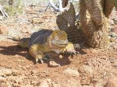 Galapagos land iguana (Conolophus subcristatus)