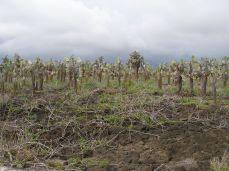 Opuntia echinos
