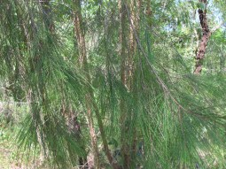 Allocasuarina is a genus of trees in the flowering plant. They are endemic to Australia. They are notable for their long, segmented branchlets that function as leaves.