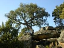 Sierra de San Vicente - Quercus ilex