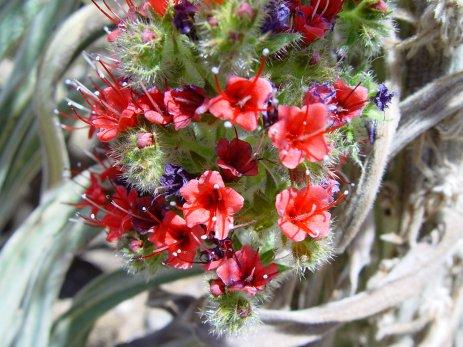 Tenerife - Teide - Echium sp.
