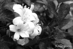 White blooms by rubys polaroid