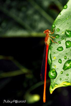 crimson dragonfly 2 by rubys polaroid