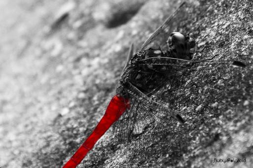 Crimson Dragonfly 3 by rubys polaroid
