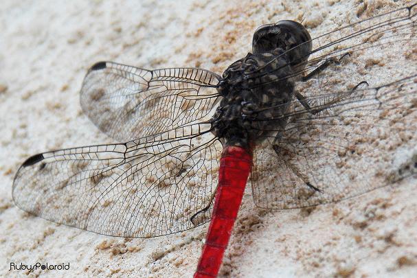 Crimson Dragonfly 4 by rubys polaroid