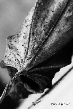 Dying leaf monochrome by rubys polaroid