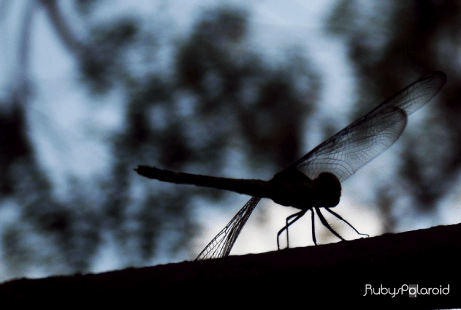 Dragonfly silhouette by rubys polaroid
