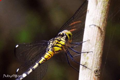 Yellow dragonfly 3 by rubys polaroid