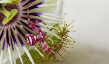 Pink Spider and Flower by rubys polaroid
