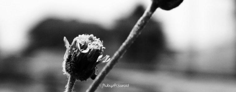 wild flower bw by rubys polaroid