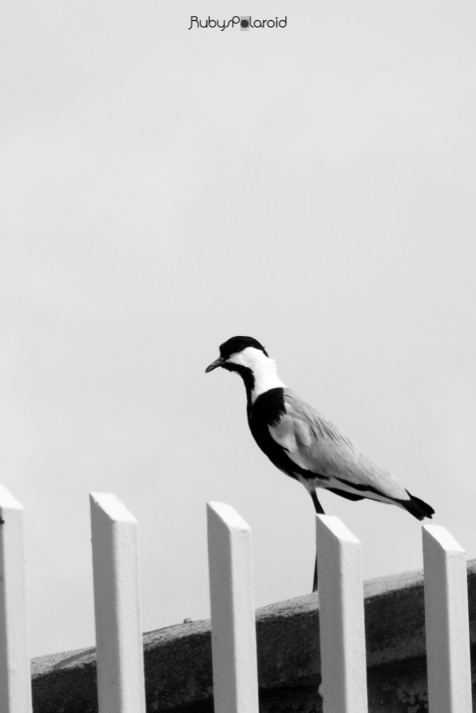 Spur-Winged Lapwing on a fence by rubys polaroid