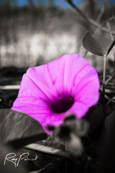Purple Haze 3 by rubys polaroid