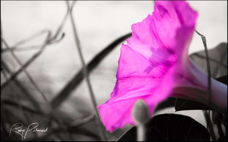 Purple Haze by rubys polaroid
