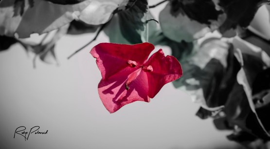 pink flower pop 2 bw by rubys polaroid