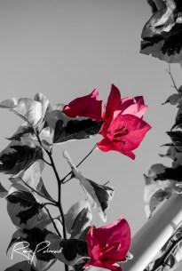 pink flower pop 3 bw by rubys polaroid