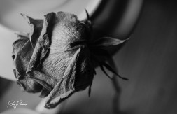 Dying Yellow Rose BW 2 by rubys polaroid