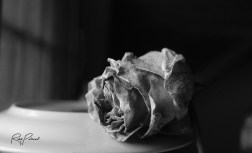 Dying Yellow Rose BW by rubys polaroid