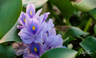 Water Hyacinth Flower by rubys polaroid