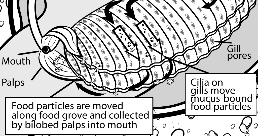Nahrungsaufnahme Körbchenmuschel - Wissenschaftl. Illustration