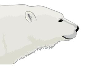 Detail- Polar bear (Ursus maritimus)