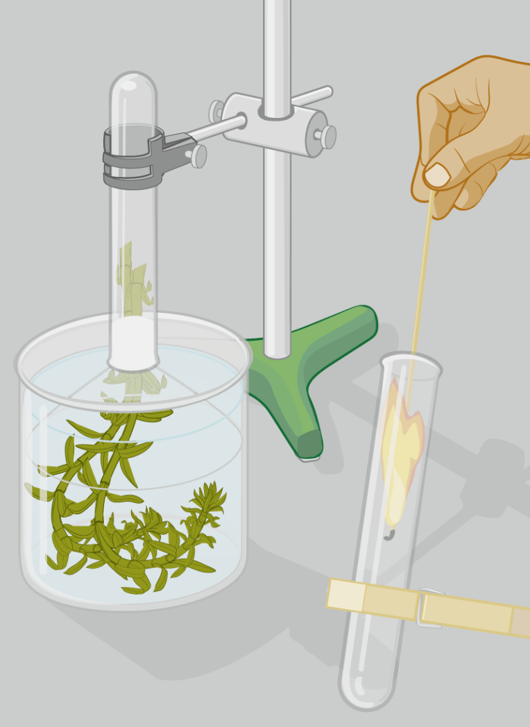 Vector graphic illustration showing setup for photosynthesis experiment.