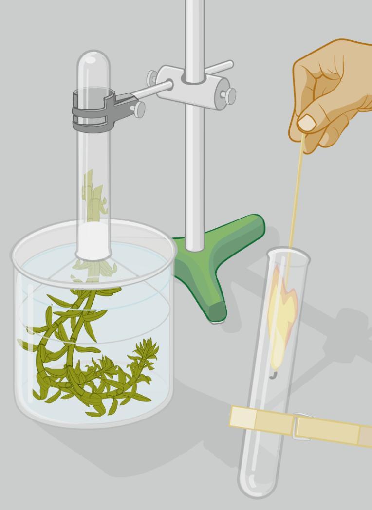 Vektorgrafik Illustration: Versuchsaufbau zu Fotosynthese-Experiement