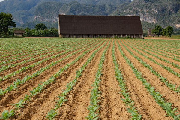 Reisebericht Kuba Tabakplantage Vinales