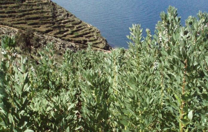 Anbau von Coca-Blättern in Bolivien