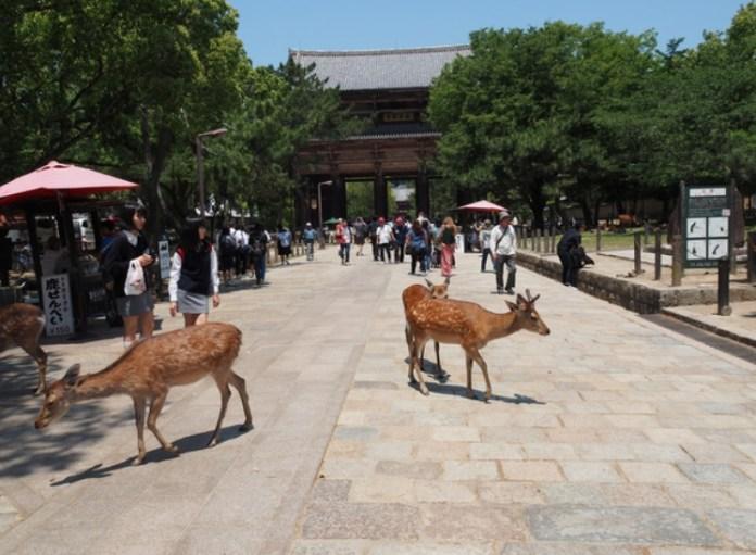 Japan_Nara_Rehe im Nara-Park