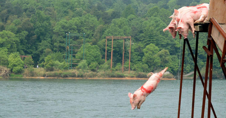 os porcos se lançam ao mar