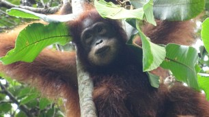 A characteristic gesture in the rain: an orang utan building an umbrella