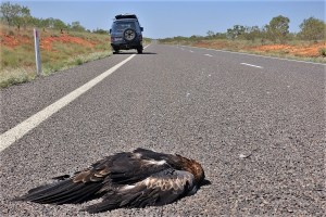Bird strike at Capricorn Hwy., Australia