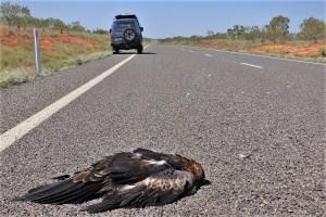 Vogelschlag auf dem Capricorn Hwy., Australien