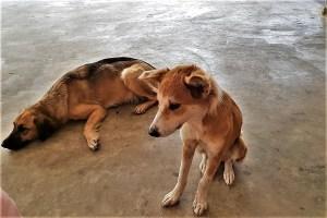 Hunde auf Tonga