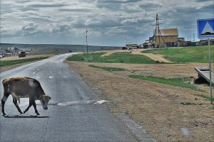 Cow on the street in Mongolia