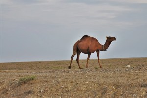 Camel in the Kazakh steppe