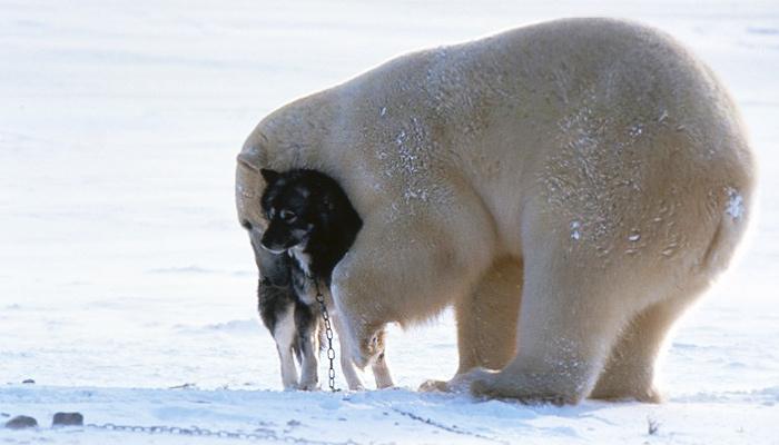 bear-husky2