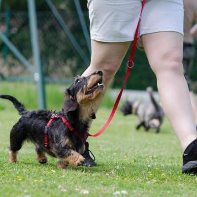 Dog training is key for enjoyable dog ownership.