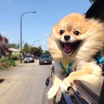 Happy good feelings dog riding in car