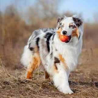 Australian Shepherd with a ball in his mouth