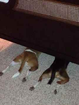 two dogs playing hide & seek