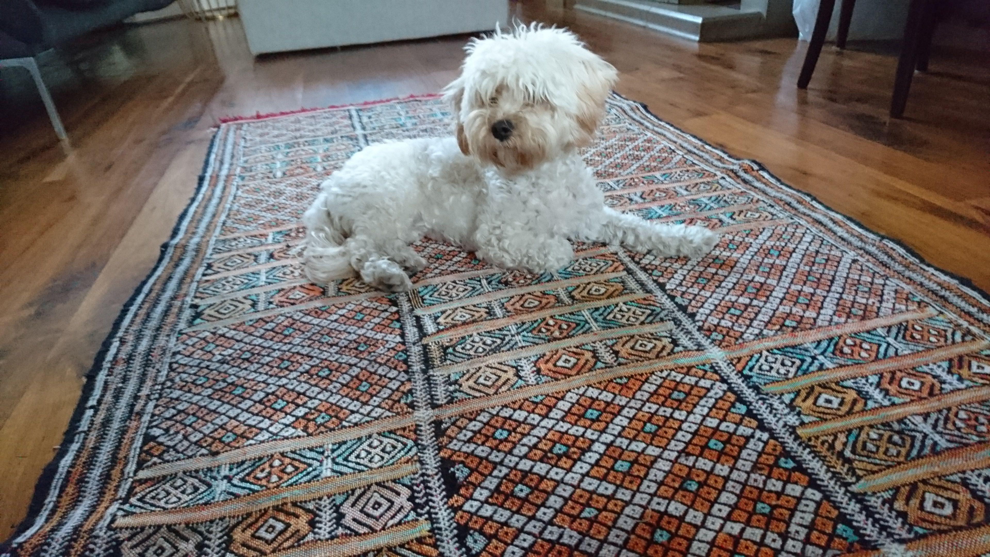 Luna on her Moroccan Kilim Rug