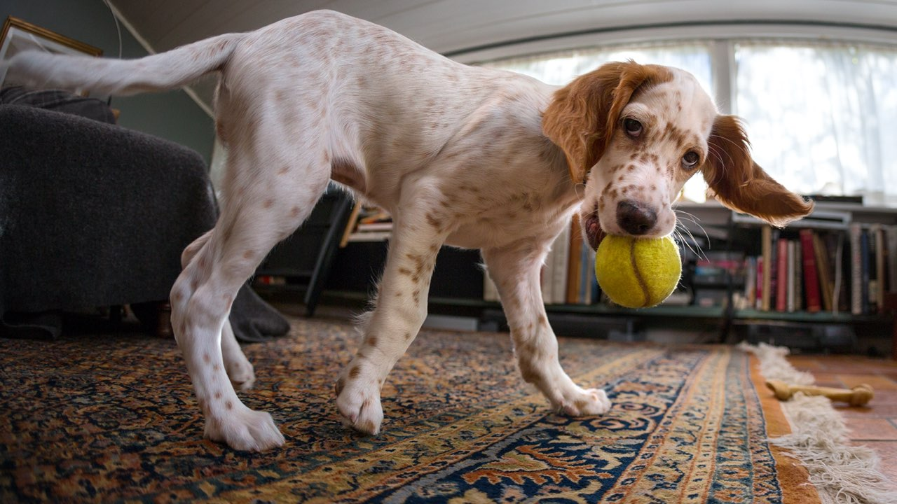 dog playing, oriental rug