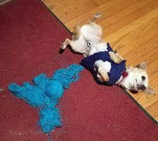My Chihuahua thought the lace yarn made a delightful toy.