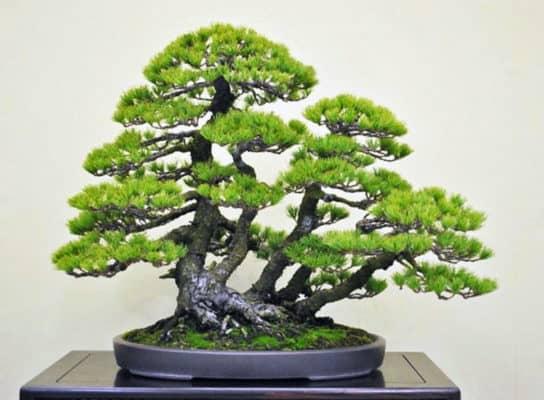 10 Jenis Tanaman Bonsai pada Hunian  RumahLiacom