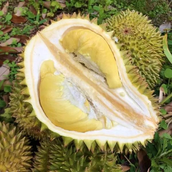 bibit durian cane 1